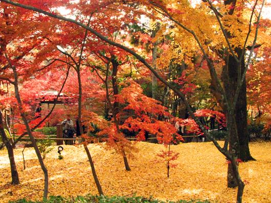 9,銀杏と紅葉,yellow of a ginkgo tree and autumnal color of leaves